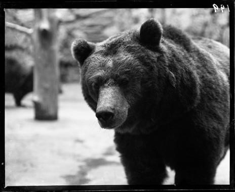 American Black Bear. Lincoln Park Zoo mammal. 1900.