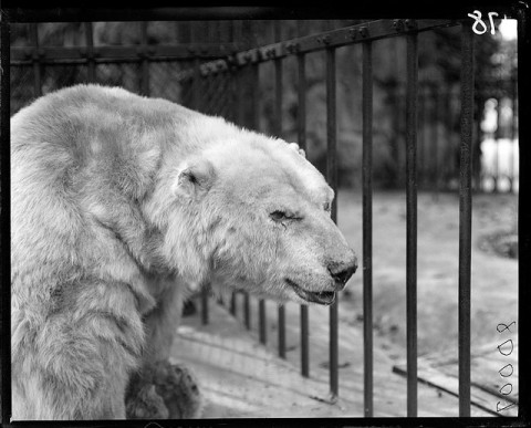 Polar bear (Ursus maritimus) in cage at Lincoln Park Zoo. 1900.